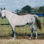 Khabira as a younger mare.  Photo by Elaine Yerty